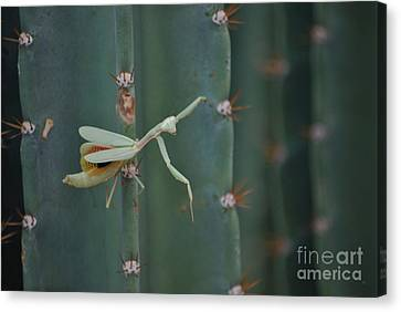 The Praying Mantis Canvas Print by Donna Greene
