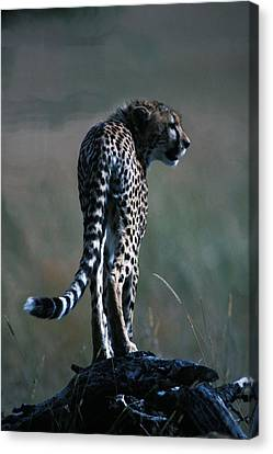 Canvas Print featuring the photograph The Predator by Carl Purcell