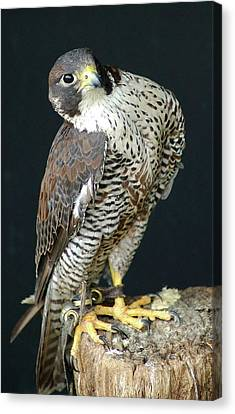 The Proud Falcon Canvas Print