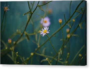 Canvas Print featuring the photograph The Quiet Aster by Douglas MooreZart
