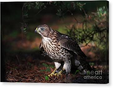 The Raptor Canvas Print by Mircea Costina Photography