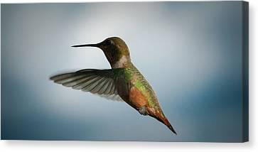 Male Hummingbird Canvas Print - The Rare Green Backed Male Rufous Hummingbird by David Patterson