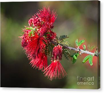 The Red Bottlebrush Canvas Print by Robert Bales
