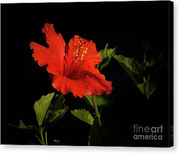 The Red Hibiscus Canvas Print by Robert Bales