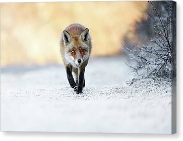 The Red, White And Blue - Red Fox In The Snow Canvas Print by Roeselien Raimond