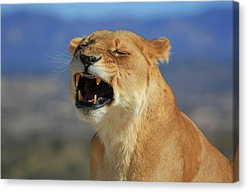 Lioness Canvas Print - The Roar by Donna Kennedy