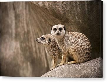 The Rock Of Meerkats Canvas Print by Chad Davis