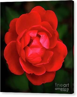 Flowerrs Canvas Print - Almost Open Rose 7 Flower Art by Reid Callaway