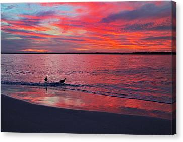 Topsail Island Canvas Print - The Royals Of Topsail by Betsy Knapp