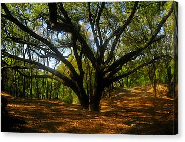 Live Oaks Canvas Print - The Sacred Oak by David Lee Thompson