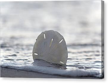 Topsail Island Canvas Print - The Sand Dollar by Betsy Knapp