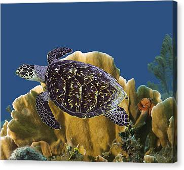 Canvas Print featuring the photograph The Sea Turtle by Paula Porterfield-Izzo