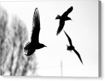 The Seagull Flying  Canvas Print by Odon Czintos
