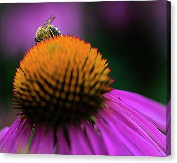 Cone Flower Canvas Print - The Shy Bee by Jeff Klingler