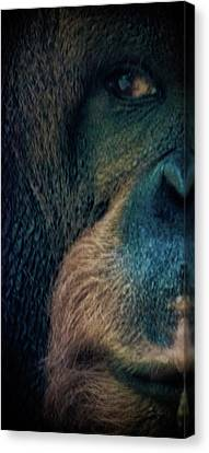 The Shy Orangutan Canvas Print by Martin Newman