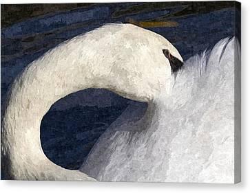 The Shy Swan Art Canvas Print by David Pyatt