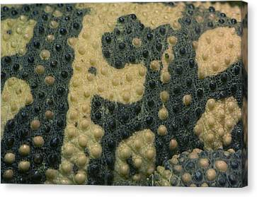The Skin Of A Gila Monster From Omahas Canvas Print by Joel Sartore