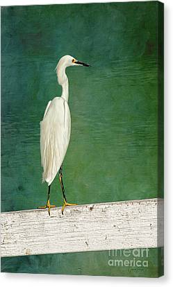 The Small White Heron - Snowy Egret Canvas Print