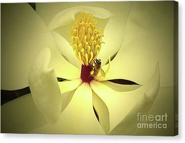 Canvas Print - The Southern Magnolia by Kim Pate