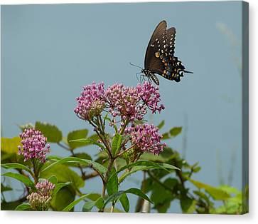 The Spicebush Swallowtail Of Prettyboy Reservoir Canvas Print by Donald C Morgan