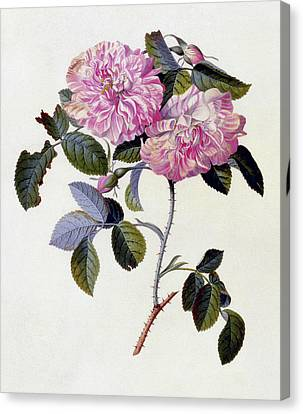 The Striped Monthly Rose Canvas Print by Georg Dionysius Ehret