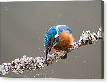 Canvas Print featuring the photograph The Stunning Common Kingfisher by Phil Stone