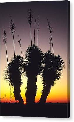 The Sun Sets Behind A Stand Of Yucca Canvas Print by Bill Hatcher