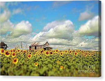 Field Of Crops Canvas Print - The Sunflower Farm by Darren Fisher