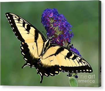 Canvas Print featuring the photograph The Swallowtail by Sue Melvin