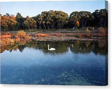 The Swan Of Cross Village Marsh Canvas Print
