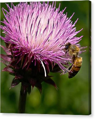 The Thistle And The Stinger Canvas Print by Ron Plasencia
