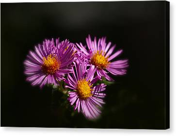 Canvas Print featuring the photograph The Three Daisies by Anthony Rego