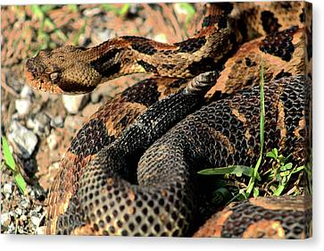 The Timber Rattlesnake Canvas Print