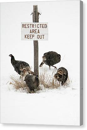 The Turkey Patrol Canvas Print by Mike Dawson