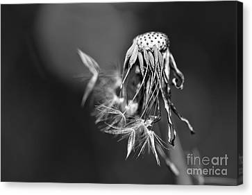 The Underrated Dandelion 1 Canvas Print