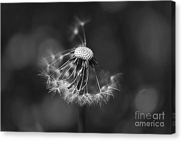 The Underrated Dandelion 2 Canvas Print