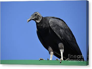 Buzzard Canvas Print - The Undertaker by Skip Willits