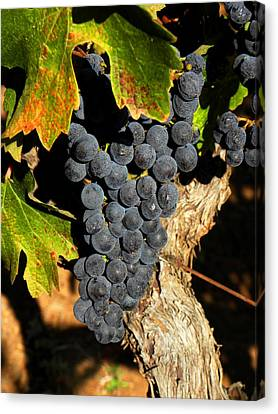 The Vineyard One Canvas Print