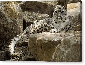 The Watchful Stare Of A Snow Leopard Canvas Print by Jason Edwards