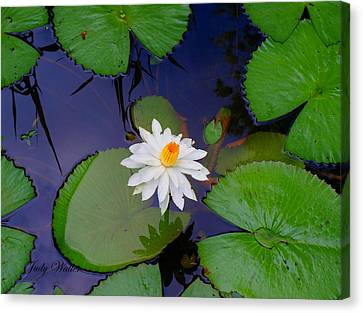 The Water Lily Canvas Print by Judy  Waller