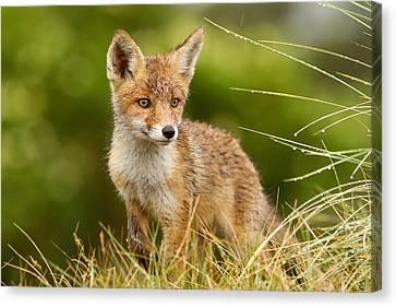 The Wet Fox Kit Canvas Print by Roeselien Raimond