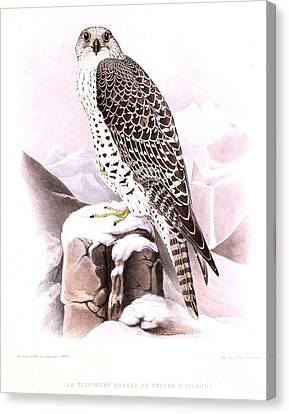 The Wild Tiercel Iceland Falcon Canvas Print