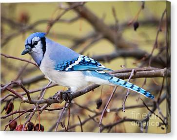 The Winter Blue Jay  Canvas Print
