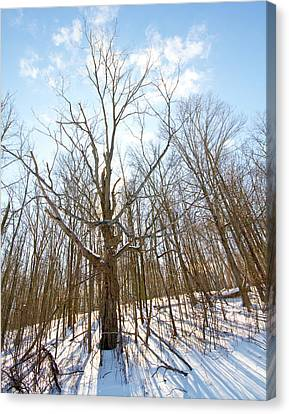 The Winter Woods Canvas Print by Tim Fitzwater