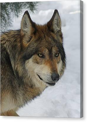 The Wolf 2 Canvas Print by Ernie Echols