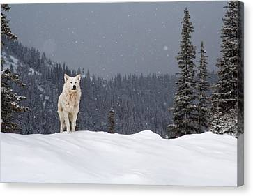 The Wolf Canvas Print by Evgeni Dinev