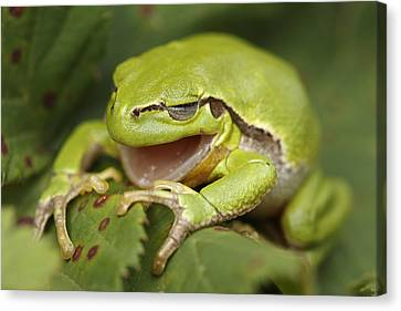 The Yawning Tree Frog Canvas Print by Roeselien Raimond