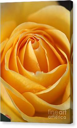 The Yellow Rose Canvas Print