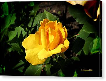 The Yellow Rose Of Garden Canvas Print by Tom Buchanan