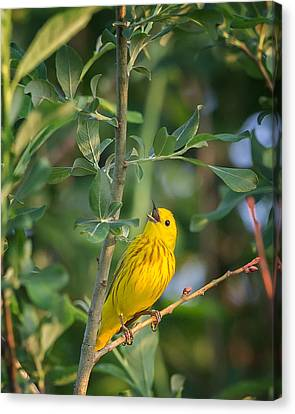 Canvas Print featuring the photograph The Yellow Warbler by Bill Wakeley